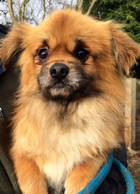 tibetan spaniel puppies sale the tibetan spaniel for sale chinnor oxfordshire pets4homes