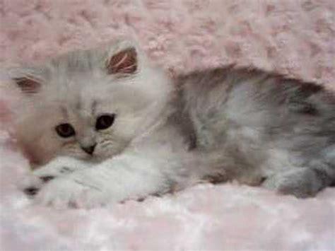 persian cats in orlando my persian kittens persian phoebe shaded silver female persian kitten youtube