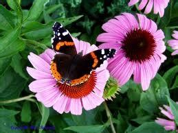 should coneflowers be cut back when the bloom dies