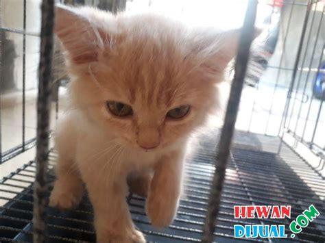 Kitten Medium Lucu 1 ekor kucing medium bonus pakan proplan kitten 4