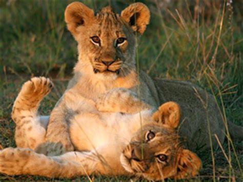 imagenes de leones y sus cachorros 191 por qu 233 algunos animales matan a sus cachorros