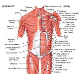 Back muscles anatomy human anatomy diagram abdomen picture of body