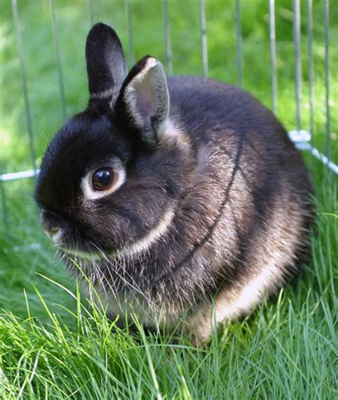 7 Facts On Bunny Rabbits by 10 Critical Facts About Caring For Netherland Rabbits