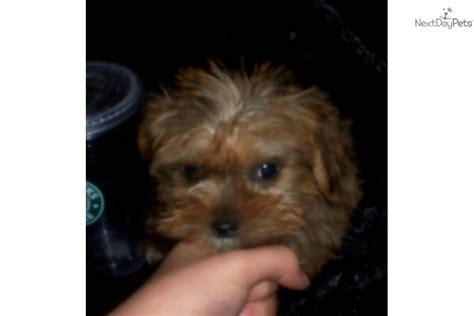 litter box a yorkie terrier yorkie for sale for 500 near evansville indiana 54087e50 0361