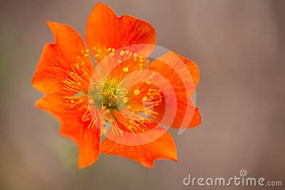 earthy orange orange geum flower earthy background stock photo image