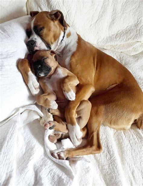 baby boxer puppies baby boxer puppies car interior design