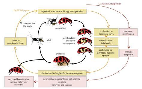 wasp cycle diagram diagrams of parasitic wasps repair wiring scheme