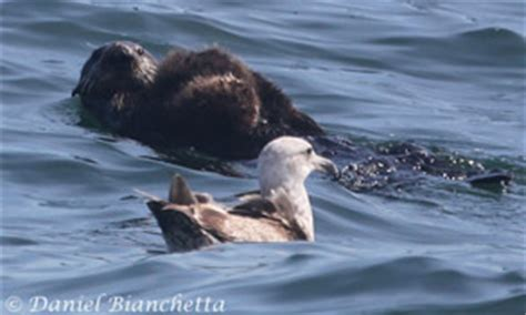 killer whales with sea pup monterey bay whale marine mammal sightings list may 2014