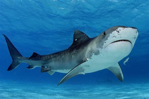 baby shark hd tiger shark wallpapers wallpaper cave