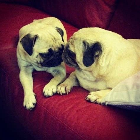 pugs kisses 17 best ideas about pugs and kisses on pug puppies pug and pugs