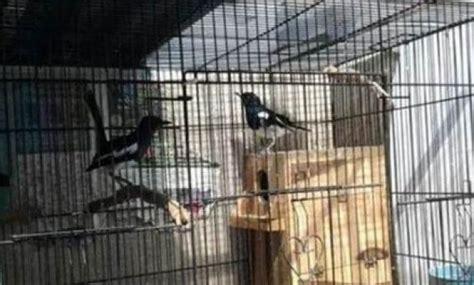 belajar ternak burung kacer panduan lengkap ternak burung kacer agar berhasil dan