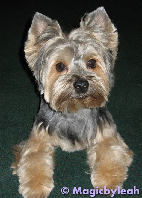 yorkie barking sounds sculpting bodewell the yorkie in polymer clay