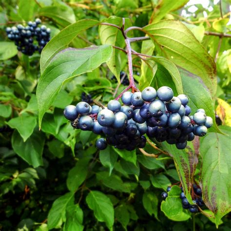 silky dogwood berries new hshire garden solutions