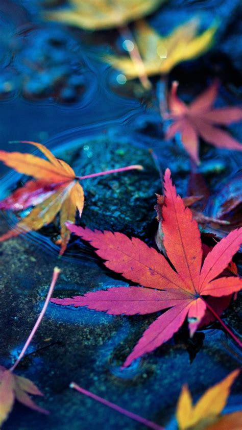 maple leaves fall autumn water  pure  ultra hd mobile wallpaper