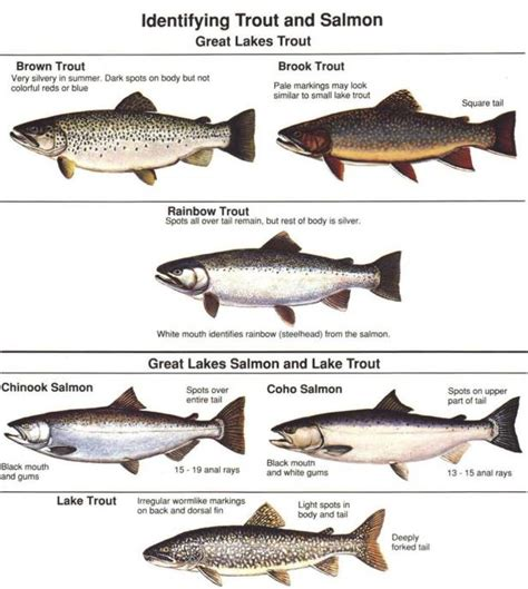 what is the difference beween salmon and sea trout great lakes identifying fish species
