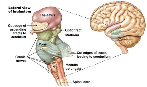 brain stem diagram anatomy made easy brainstem neuroanatomy