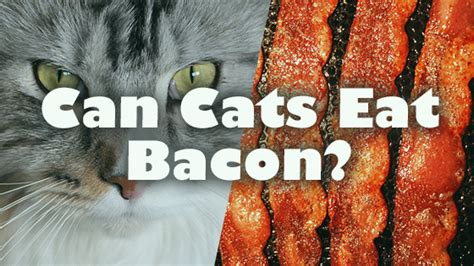 can dogs eat bacon can cats eat bacon pet consider