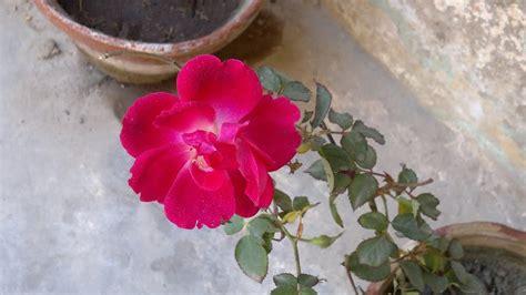 gulab ka phool image gulab ka phool poto check out gulab ka phool poto cntravel