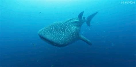 Gif Animals Science Sharks Biology Marine Biology Behavior - my whale shark tumblr