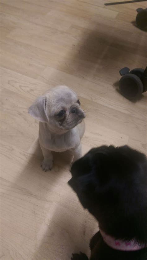 grey pug puppy and grey chinchilla pug boy puppy oldham greater manchester pets4homes
