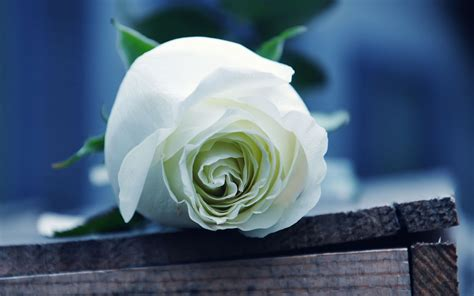 wallpaper for laptop roses wallpapers white rose wallpapers