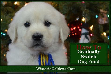 when do you switch from puppy to food gradually switch to s abundance food wisteria goldens