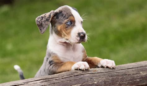 how to a catahoula leopard catahoula leopard breed information