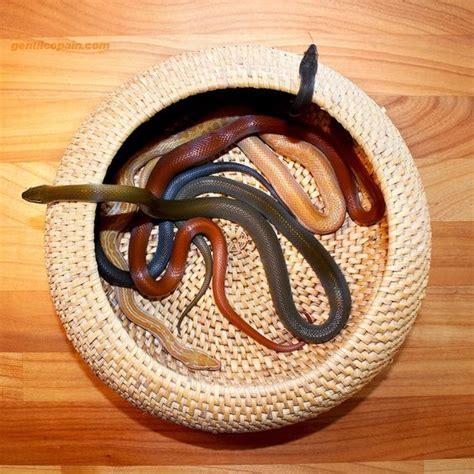 african house snake pinterest the world s catalog of ideas