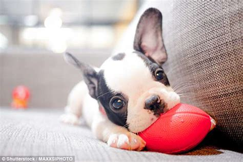 Miniatur Pet Polisi bulldogs are among the most expensive pets for policy cover at 163 358 a year daily mail