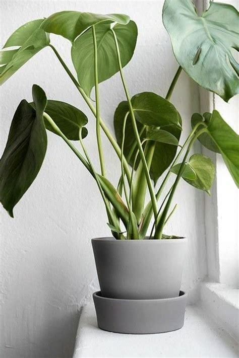 Große Zimmerpflanzen Wenig Licht by Sch 246 Ne Zimmerpflanzen Die Wenig Licht Brauchen