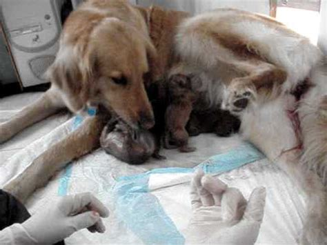 golden retriever giving birth to puppies golden retriever quot quot giving birth 52610 12 19pm mpg