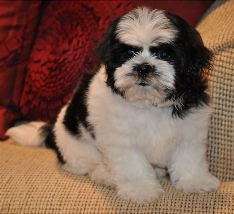 bichon shih tzu puppy black and white shichon bichon frise shih tzu hybrid puppy dogs 24 7