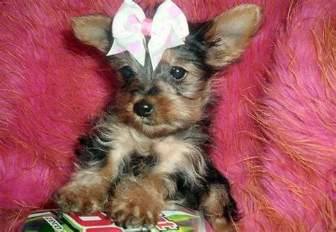 puppies for adoption in louisville ky adopt yorkie louisville ky wallpaper breeds picture