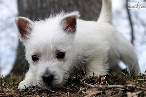 westie puppies near me west highland white terrier westie puppy for sale near fort wayne indiana