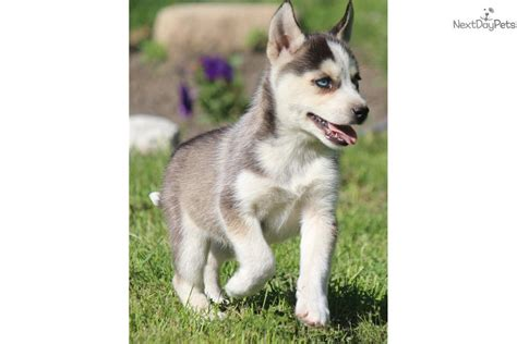 free siberian husky puppies in michigan siberian husky puppy for sale near grand rapids michigan c9307502 22e1