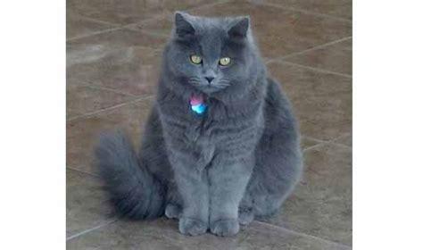 Lost Cat   Russian Blue/persian in Las Vegas, NV