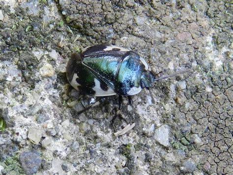 vas regione lombardia cydnidae tritomegas bicolor della lombardia va forum