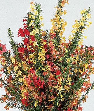 hummingbird mix ipomopsis seeds and plants annual flower