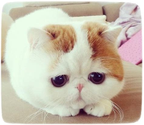 Cutest Cat Breeds Ever   Cats : Pet Photos Gallery#wK2lEVW3n7