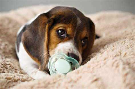 baby beagle puppies 22 photos of beagle puppies that will make your stop with cuteness beagle at