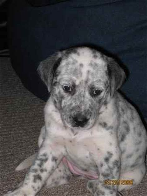 yorkie dalmation mix annabelle the dalmatian mix s photo gallery
