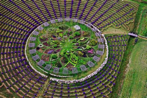 lavender labyrinth see the blooming mystical lavender labyrinth said to