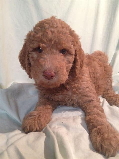 doodle puppies new york willowgreen golden doodles of new york puppies for sale