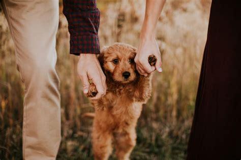 goldendoodle puppy growling best 25 goldendoodle ideas on golden doodles