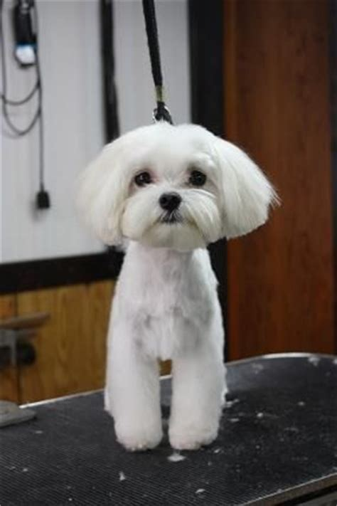 yorkie poo for sale hshire 17 b 228 sta id 233 erna om haircuts p 229 terrier