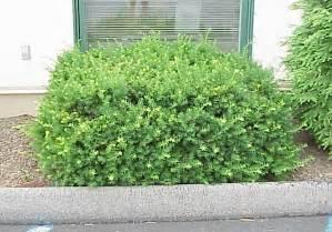 spreading yew green acres