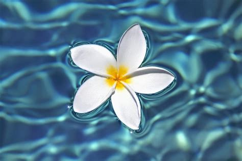Bedroom Canvas Plumeria Flower Floating In Clear Blue Water
