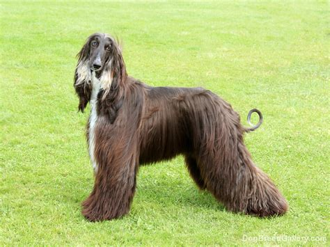 afghan breed afghan hound breed gallery