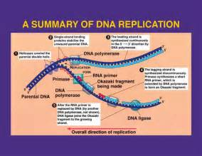 Dna Replica Replication