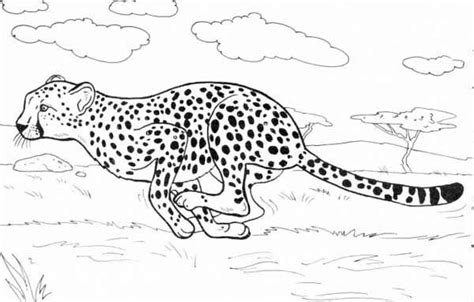 colouring in pages cheetah free printable cheetah